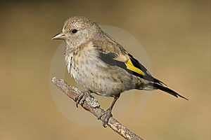 Goldfinch (Carduelis Carduelis) Royalty Free Stock Images - Image: 15980779