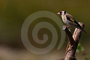 Goldfinch (Carduelis Carduelis) Stock Photo - Image: 15991310