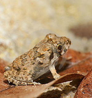 Small Brown Orange Frog Royalty Free Stock Photos - Image: 15992438