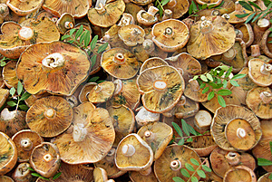 Edible Fungus Stock Image - Image: 15994321