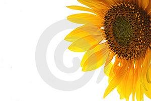 Sunflowr Stock Image - Image: 15994861