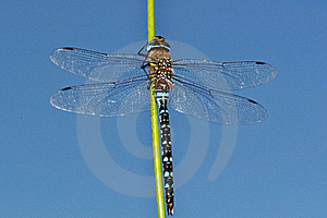 Blue Aeshna Mixta Dragonfly Upon Sky Stock Images - Image: 15998724