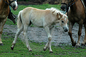 Young Pony Free Stock Photo