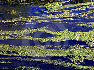 River With Duckweed Stock Photography