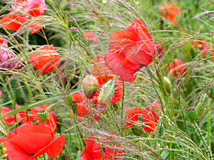 Poppies Free Stock Images