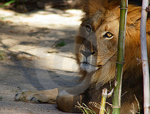 Large Male Lion Free Stock Photo