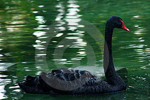 Black Swan Free Stock Photography
