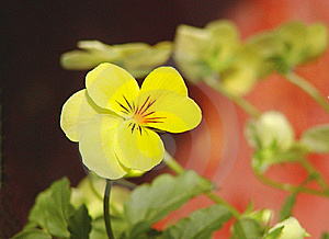 Pansy Free Stock Photo