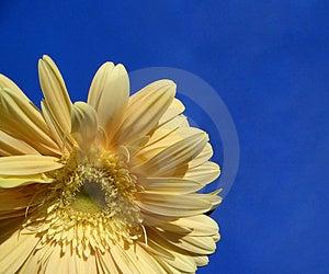 Sun-flower...(1) Free Stock Photo
