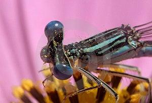 Dragon Fly ...(2) Stock Photos