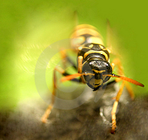 Wasp...(4) Royalty Free Stock Photography