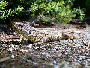 Lizard in the Sun Royalty Free Stock Photo