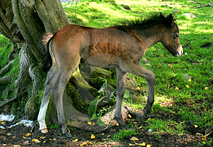 The Foal Stock Photography