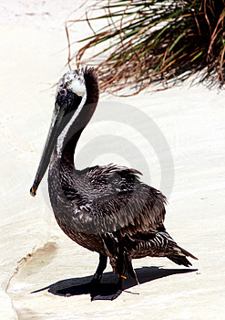Eastern Brown Pelican Royalty Free Stock Photography
