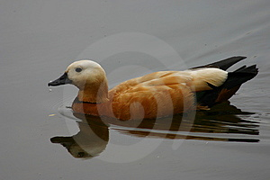 Duck Free Stock Images
