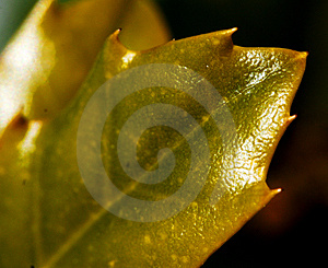 Shiny Spikey Leaf Stock Photography