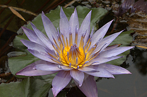 Waterlily on pond Royalty Free Stock Photos