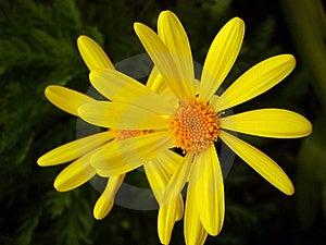 Yellow Daisies Stock Photo