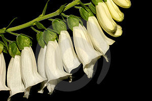Deadly White Foxglove Free Stock Photos
