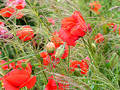 Poppies Royalty Free Stock Images