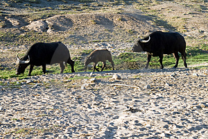 Group Of Buffalo Royalty Free Stock Photos - Image: 1602888