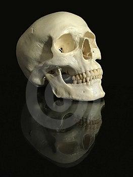 Cranium Stock Images