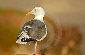 Seagull Perched On Log Looking To The Left In Pismo Beach Califo Stock Image - Image: 1607701