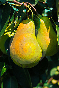 Cluster Of Ripe Pears On A Tree Branch Royalty Free Stock Image - Image: 16005386