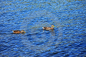 Ducks In A River. Stock Images - Image: 16011504