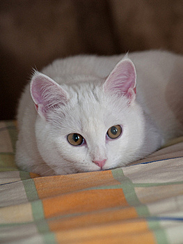 White Kitten On A Bed Linen Royalty Free Stock Photo - Image: 16012745