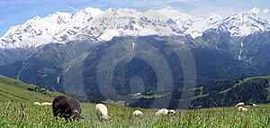 Sheeps In French Alpes Mountains Royalty Free Stock Images - Image: 16015789