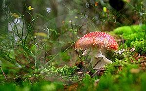 Red Mushroom Stock Image - Image: 16021111