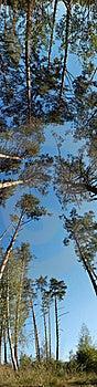 Pines Royalty Free Stock Image - Image: 16022786