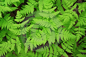 Green Leaves Of A Fern Royalty Free Stock Images - Image: 16028799