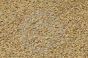 Graines Of Rice Drying Royalty Free Stock Photo - Image: 16031835