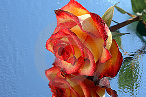 Wet Rose Royalty Free Stock Photography - Image: 16034267