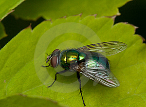 Fly On Green Leaf Stock Image - Image: 16039291