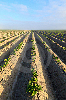Cultivated Potato Field Royalty Free Stock Photo - Image: 16040865