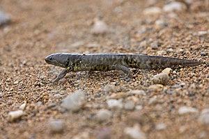 Tiger Salamander Royalty Free Stock Photography - Image: 16042137