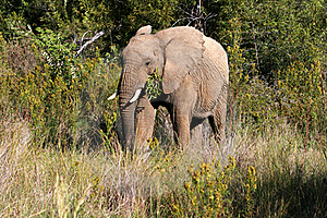 A Elephant Having A Lunch Royalty Free Stock Photography - Image: 16045647