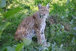 Lynx 2 Royalty-vrije Stock Foto - Afbeelding: 16046455