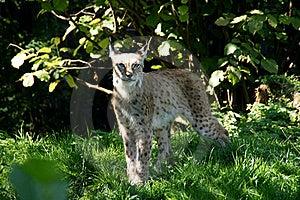 Lynx 3 Image libre de droits - Image: 16046476
