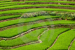 Rice Paddies Royalty Free Stock Images - Image: 16047169
