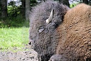 Bison Royalty Free Stock Photos - Image: 16053308