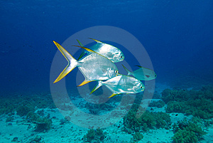 Small School Of Solver Fish Royalty Free Stock Photography - Image: 16056227