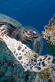 Hawksbill Turtle Stock Photography - Image: 16056242