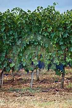Vineyards Royalty Free Stock Images - Image: 16058259