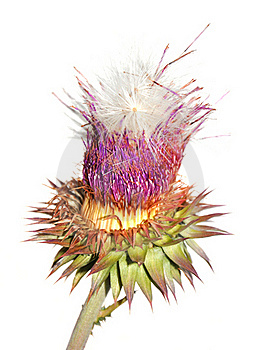 Purple Thistle Flower Royalty Free Stock Images - Image: 16060729