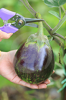 Fresh Eggplant Royalty Free Stock Photography - Image: 16060867