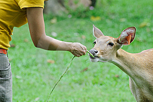 Deer Feeding Stock Images - Image: 16075374